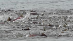 Kokanee Salmon Spawning stock video