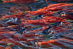 Kokanee salmon Stock Photography