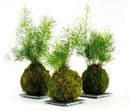 Kokedama asparagus Zdjęcie Stock