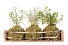 Kokedama called ball of soil royalty free stock photos