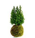 Kokedama Coniferus Стоковое Изображение RF