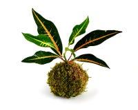 Kokedama-Croton stockbild