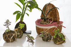 Kokedama Royalty Free Stock Photo