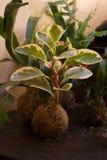 Kokedama med Peperomiaoblusifoliaväxten royaltyfri fotografi