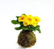 Kokedama Primula vulgaris Royalty Free Stock Images