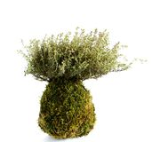Kokedama Thymus vulgaris. Thymus vulgaris in japanese Kokedama style. Its possible easy hang to a twine Stock Image