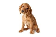 kokera psi angielski spaniela ypung obraz stock