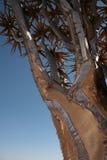 Kokerboom树在纳米比亚 库存图片