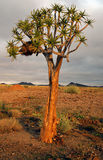 kokerboom结构树 库存照片