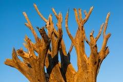 Kokerboom morto della cima d'albero Immagine Stock