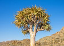 Kokerboom or Quiver Tree Stock Photo