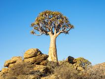 Kokerboom or Quiver Tree Royalty Free Stock Photo