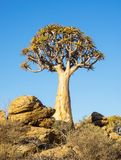 Kokerboom or Quiver Tree Stock Photography