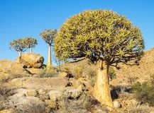 Kokerboom or Quiver Tree Royalty Free Stock Image