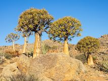 Kokerboom or Quiver Tree Royalty Free Stock Images