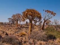 Kokerboom skog med träd för aloe (darrning) Arkivbild