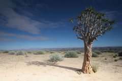 Kokerboom Tree. In Southern Namibia Royalty Free Stock Images