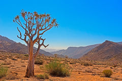 Kokerboom Tree in Arid Valley Richtersveld Stock Images