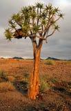 kokerboomtree Arkivfoton