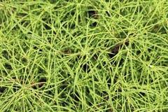 Kokia plant Royalty Free Stock Image