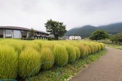 Kokia tumble weed at Oishi park, Lake Kawaguchiko. Kokia tumble weeds were planted at Oishi Park, one of the most famous spot to see Mt. Fuji at Lake Kawaguchiko Royalty Free Stock Photo