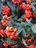 Kokina fleurit l'autre nom des fleurs ornementales de Noël dans le jardin Images libres de droits