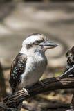 Kokkaburra fågel Royaltyfria Bilder