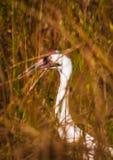 Kokluszowy żuraw 4 Zdjęcia Stock
