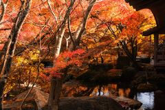 Koko-en Garden in autumn, Himeji. Koko-en Garden with red maple trees touching sunlight in autumn at Himeji, Hyogo Prefecture, Japan. Here is located next to royalty free stock photo