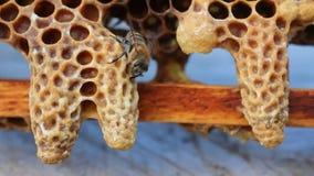 Kokon-Bienenköniginnen stock footage