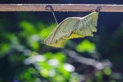Kokon des gemeinen birdwing Schmetterlinges lizenzfreie stockbilder