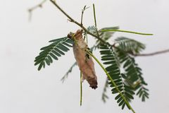 Kokong av larven som hänger från ett träd Royaltyfri Bild