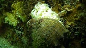 Kokonger av den rov- blötdjurRapana venosaen, angriparen i Blacket Sea stock video