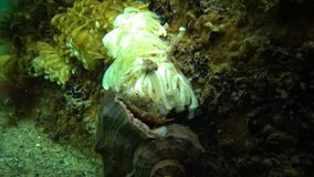 Kokonger av den rov- blötdjurRapana venosaen, angriparen i Blacket Sea arkivfilmer