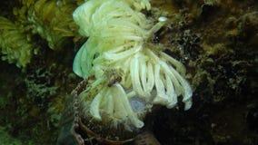 Kokonger av den rov- blötdjurRapana venosaen, angriparen i Blacket Sea lager videofilmer