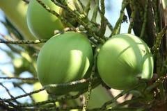 kokosnöt Royaltyfri Fotografi