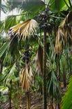 Kokosnöt eller Coco de Bara Arkivbild