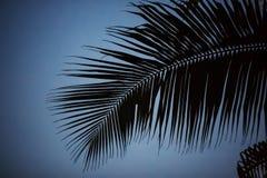 Kokosnöt för blad för svartvit kontur för skugga för palmträdbakgrund härlig på modell för filial för strandnatursuddighet mörk p arkivbild