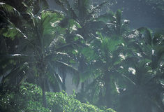 KOKOSNÖT FÖR INDISKA OCEANENSEYCHELLERNA LA DIGUE royaltyfri foto