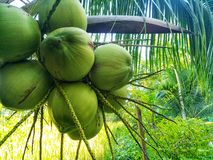 Kokosnöt från det nytt från lantgården royaltyfri bild