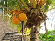 Kokosnöt i palmtree Arkivbilder