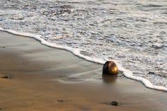 Kokosnöt i sanden royaltyfri fotografi