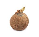 Kokosnöt med vit backgroun arkivfoto