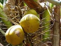 Kokosnöt på ett träd Vietnam Royaltyfri Fotografi