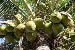 Kokosnöt på kokospalmen Royaltyfri Fotografi