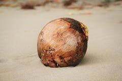 Kokosnöt på sanden av en härlig strand i Dominica Royaltyfri Bild