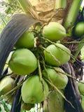 Kokosnöt på treen Arkivbild