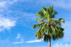 Kokosnöt Plam träd royaltyfri bild