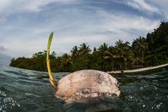 Kokosnöt som svävar nära den tropiska ön arkivfoto