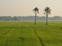 Kokosnöt två i paddyrice. Royaltyfri Bild
